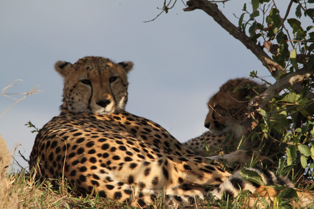 Two cheetahs in Kenya