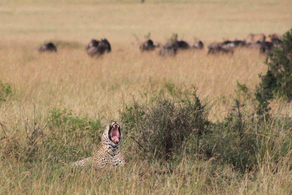 Cheetah yawning in Kenya