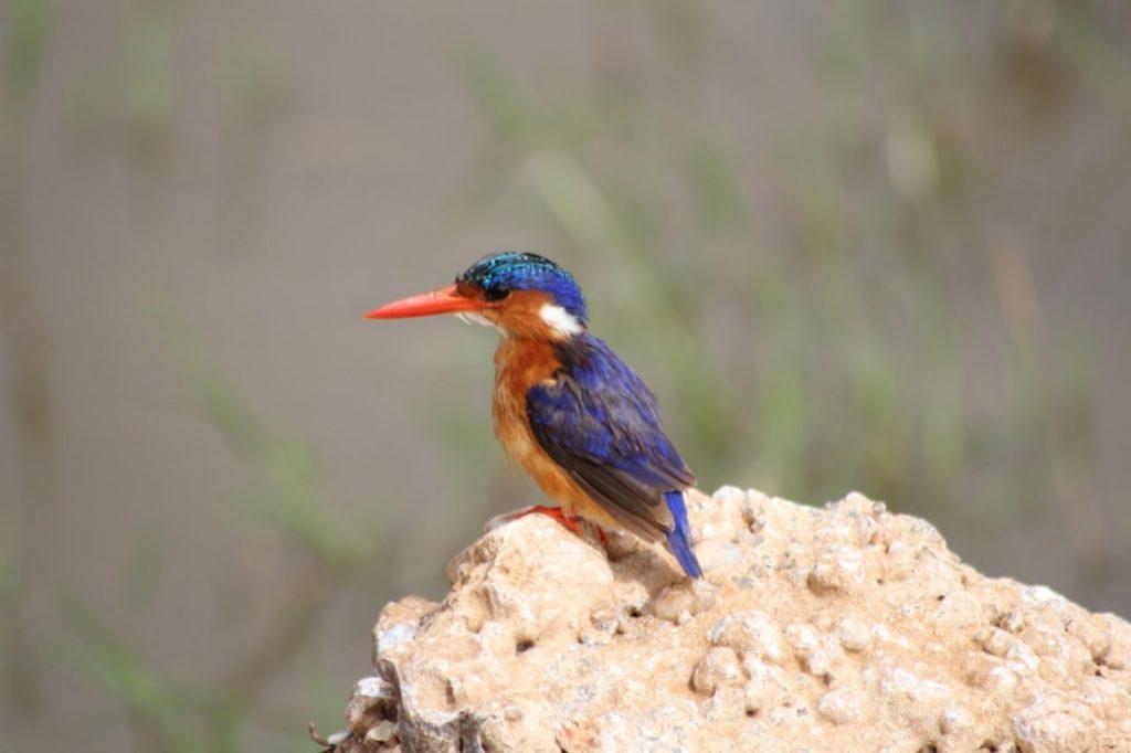 Malachite Kingfisher in Kenya