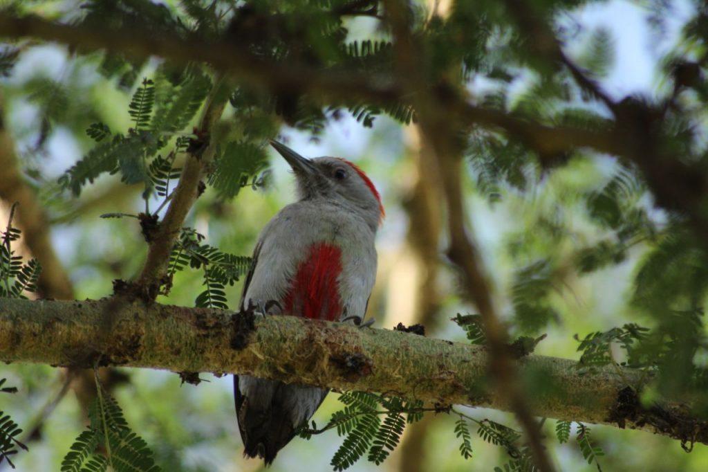 African grey woodpecker in Kenya