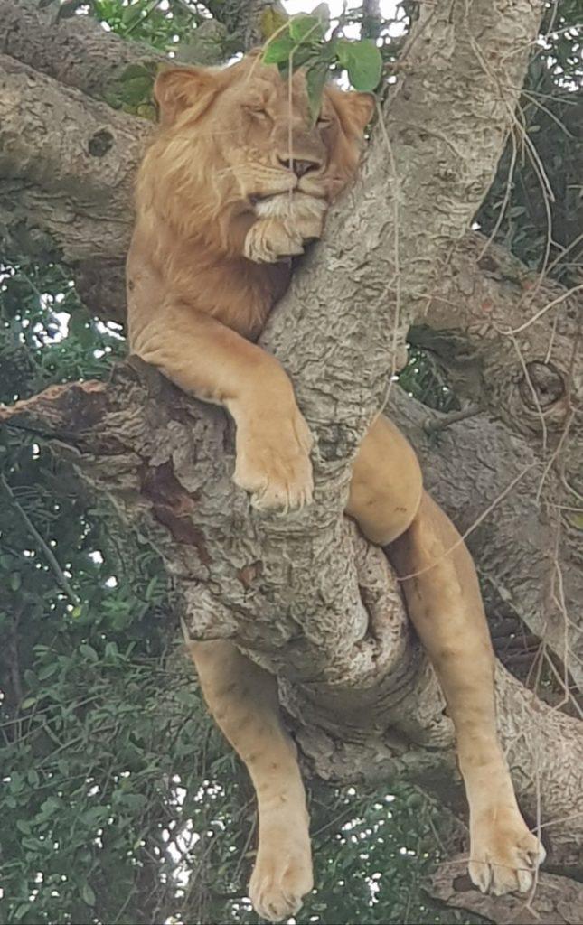 lion in tree, Uganda