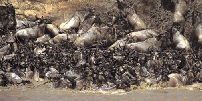 The Wildebeest Migration on Kenya Safari