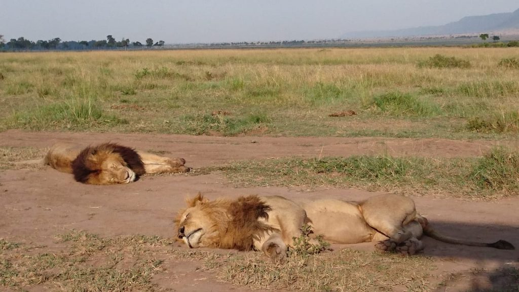 Lazy Lions in Kenya