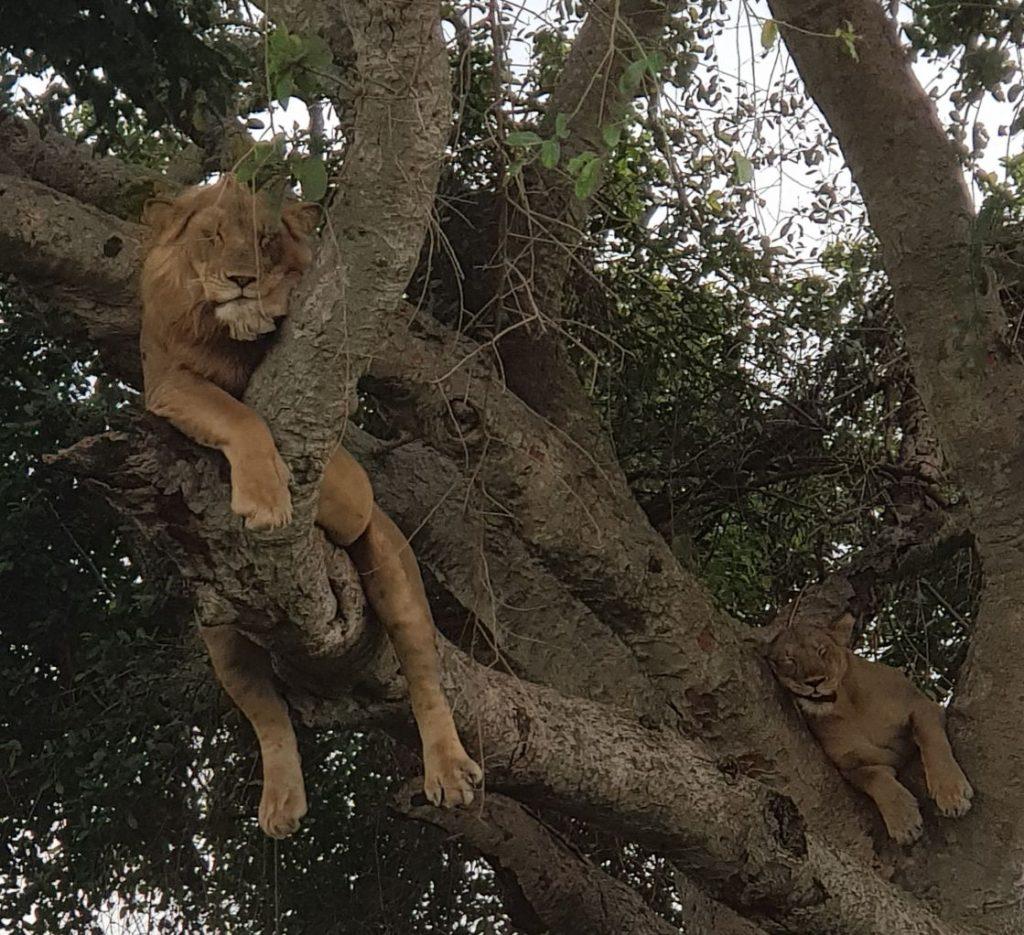 lions in trees Uganda