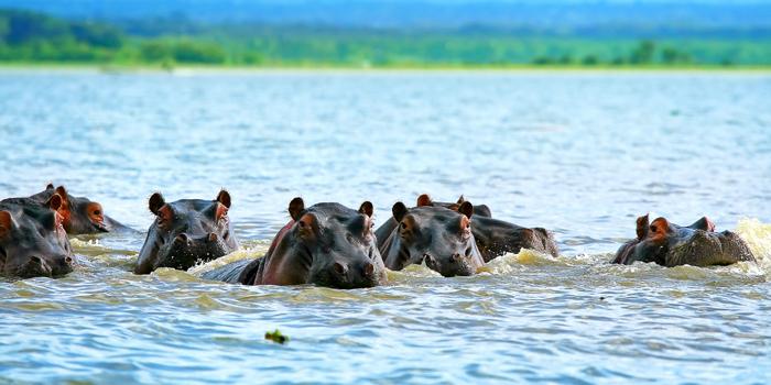 Hippos in Kenya