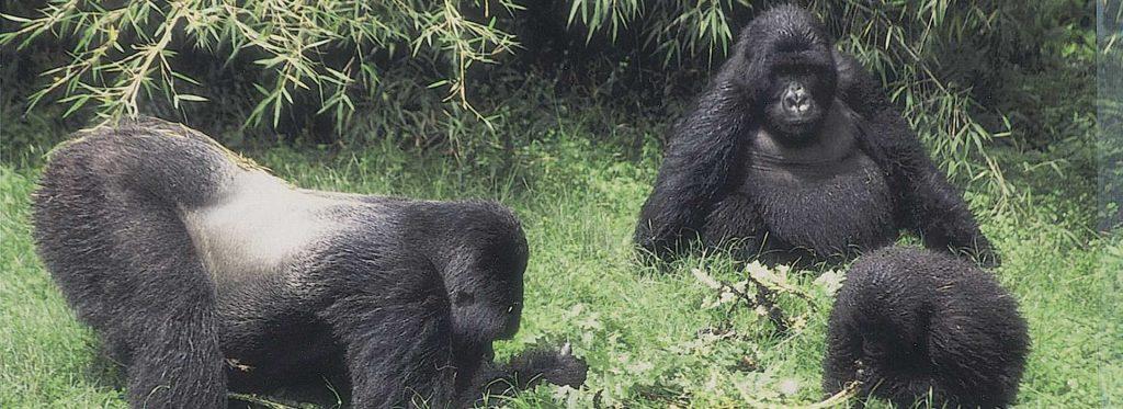 3 gorillas in Uganda