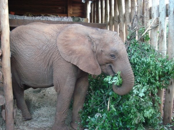 Baby elephant at David Sheldrick Wildlife Trust