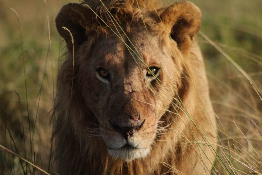 Lioni in Kenya