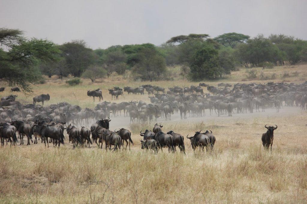 Herd of wildebeest in Tanzania