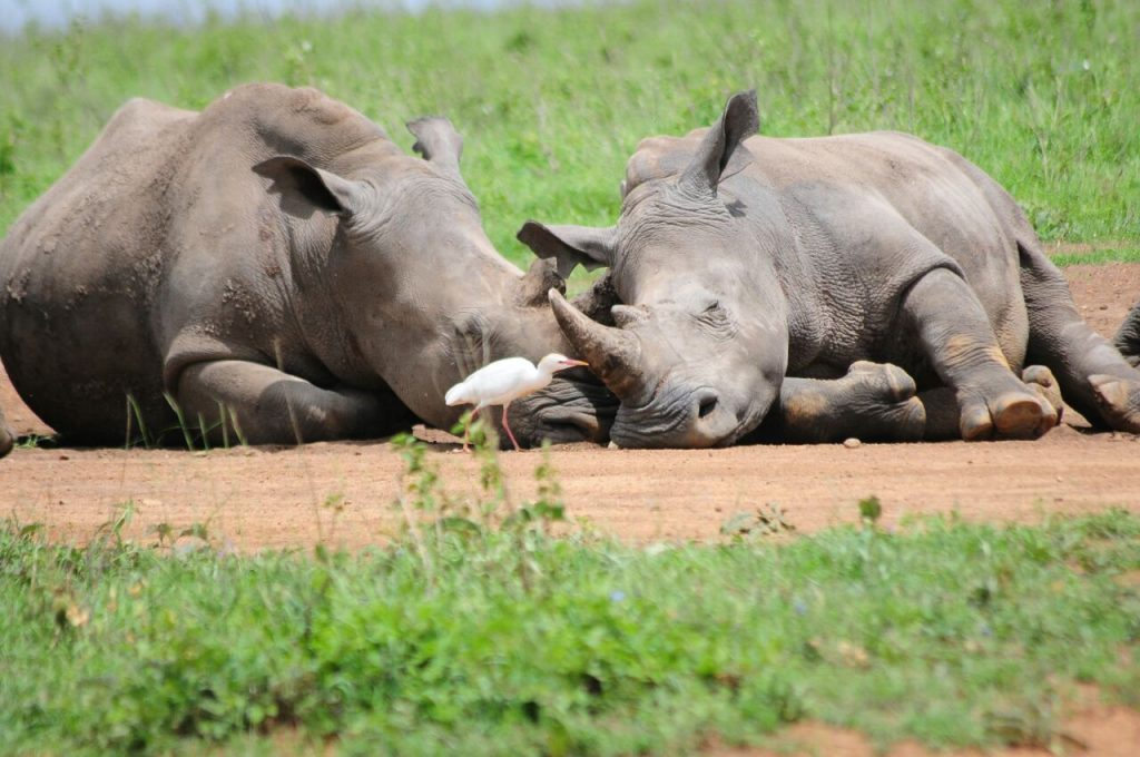 Two sleeping rhinos