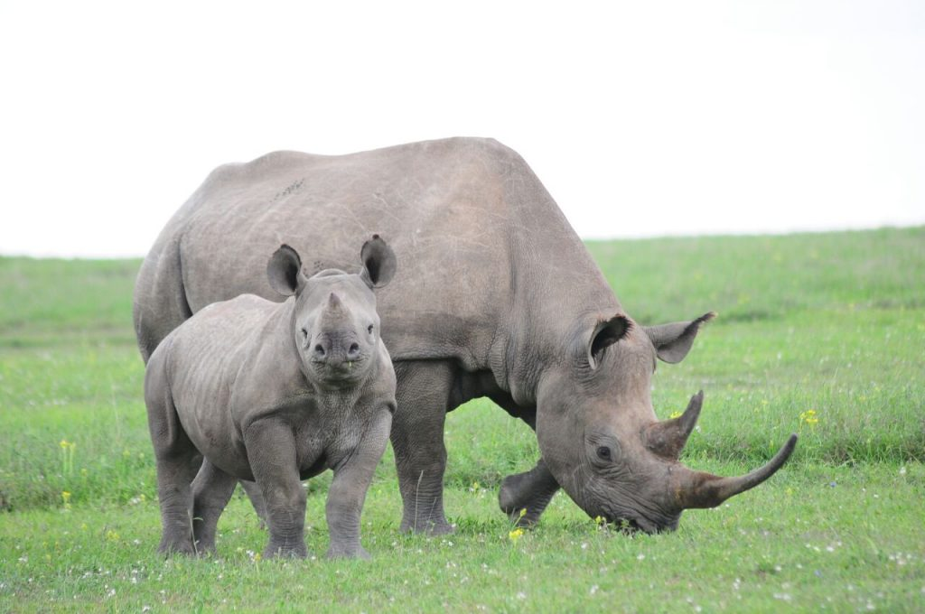 Two rhinos in the Masai Mara
