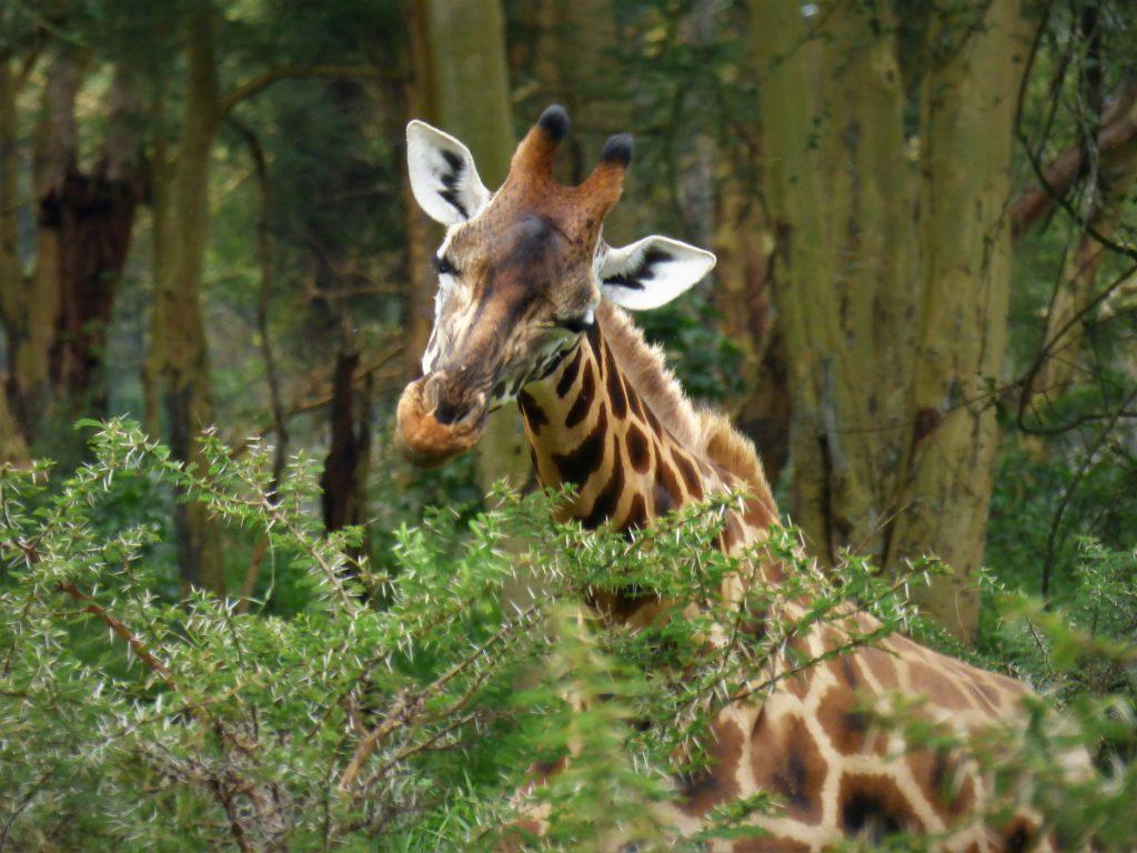 Dreamy eyed giraffe