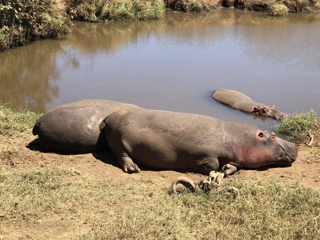 Hippos in Tanzania