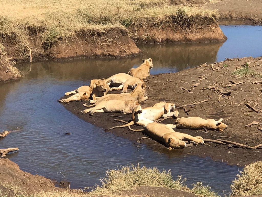 lions beside the river in Tanzania