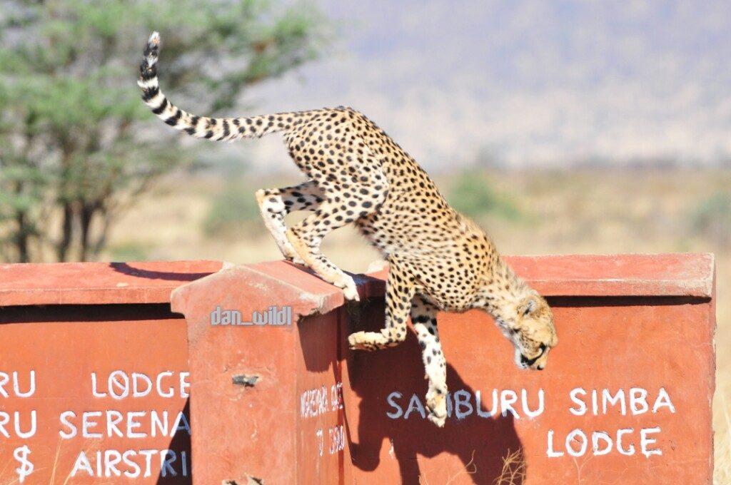 Cheetah at Samburu Simba Lodge