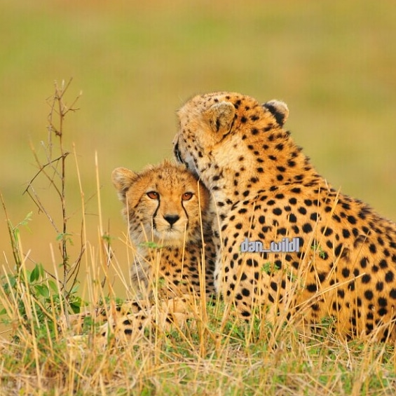 Cheetah and her cub