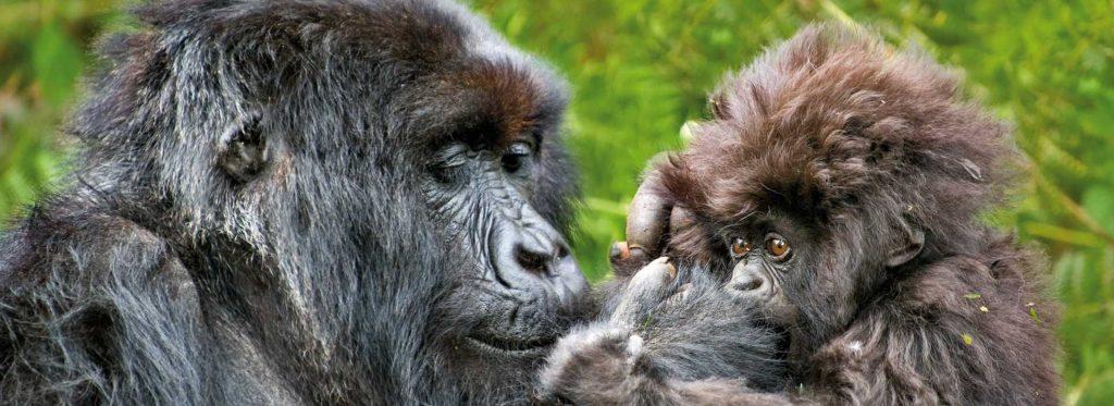 Gorilla Trekking in Rwanda and Uganda