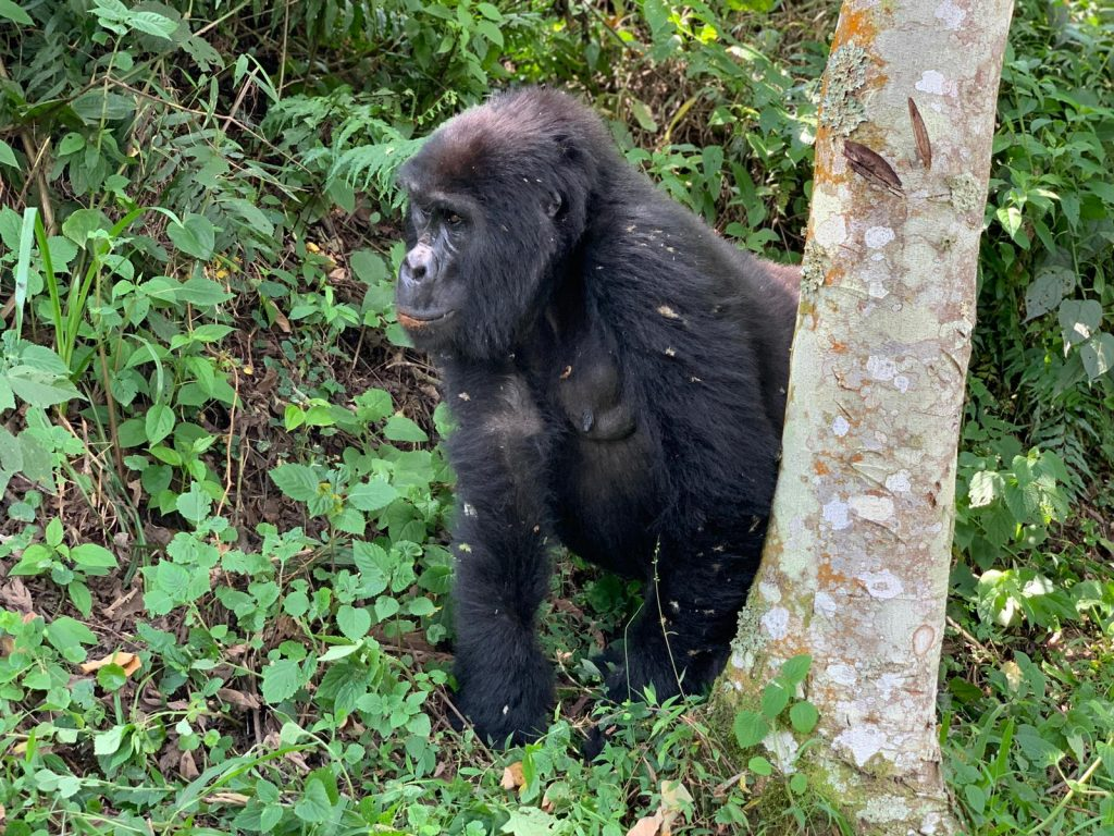 A beautiful big gorilla in the forest