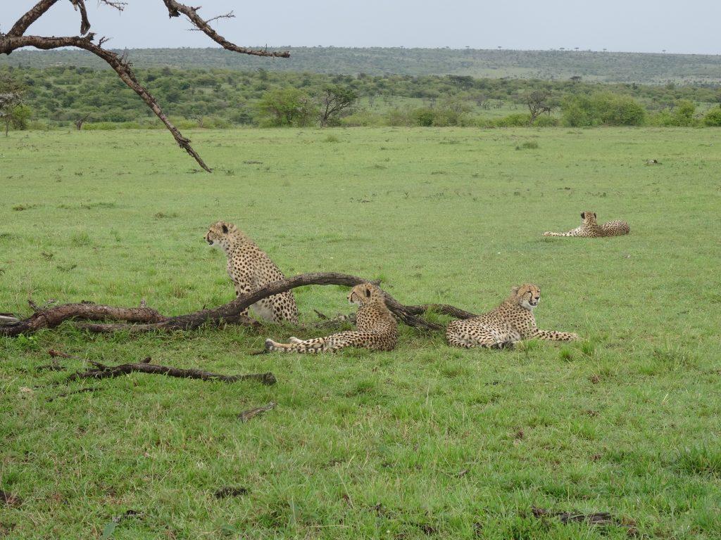 Four Cheetahs on the savannah