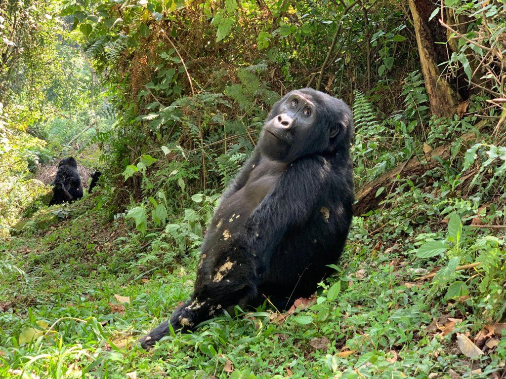 Gorilla up close