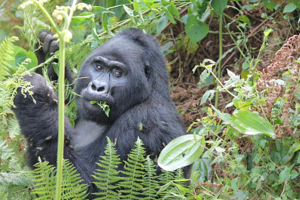 Curious gorilla in Uganda