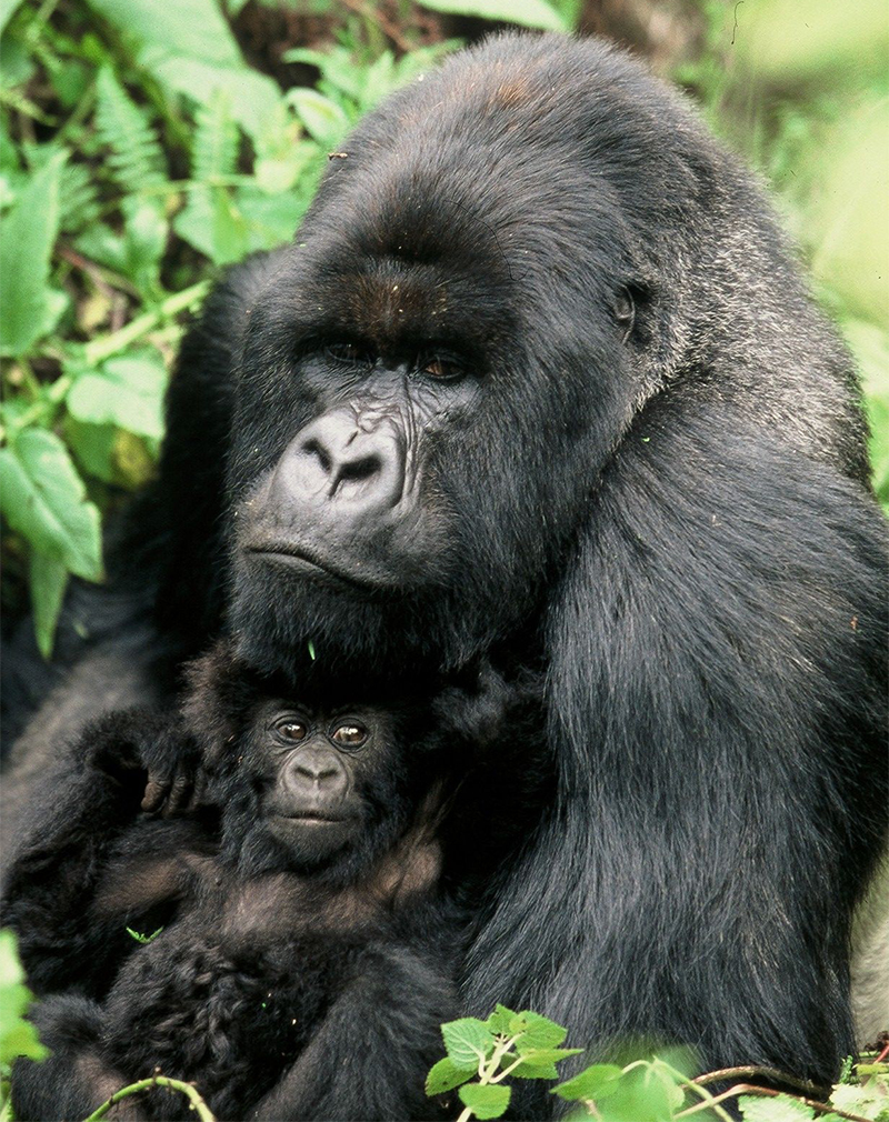 Huge gorilla with baby