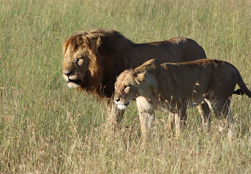 Two lions in the Masai Mara
