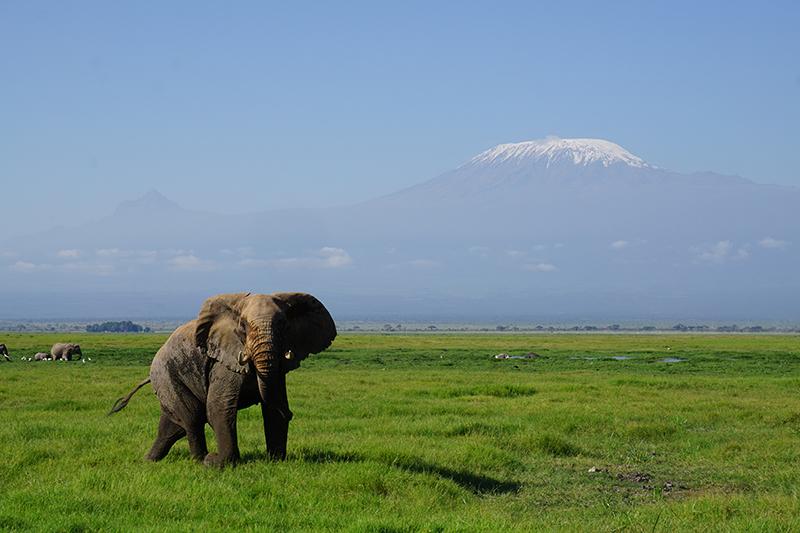 Elephant in front of Mount Kilimanjaro, Tanzania