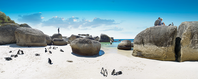 Penguins on Boulders Beach in South Africa