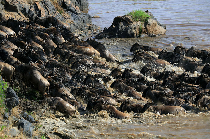 Migrating wildebeest crossing the river