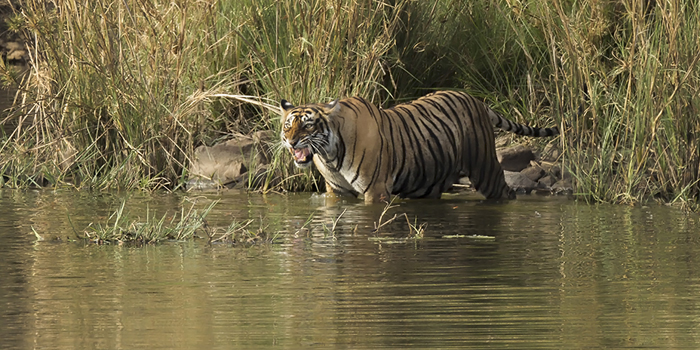 Tiger in the water in Ranthambore, India