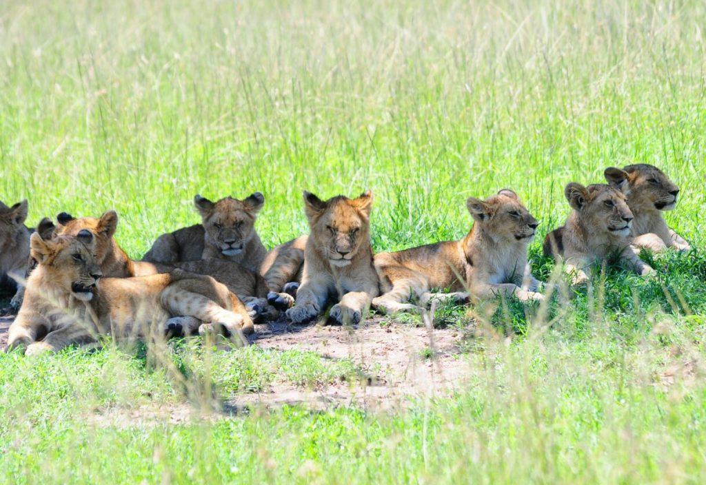 Lion cubs on a Kenya Safari