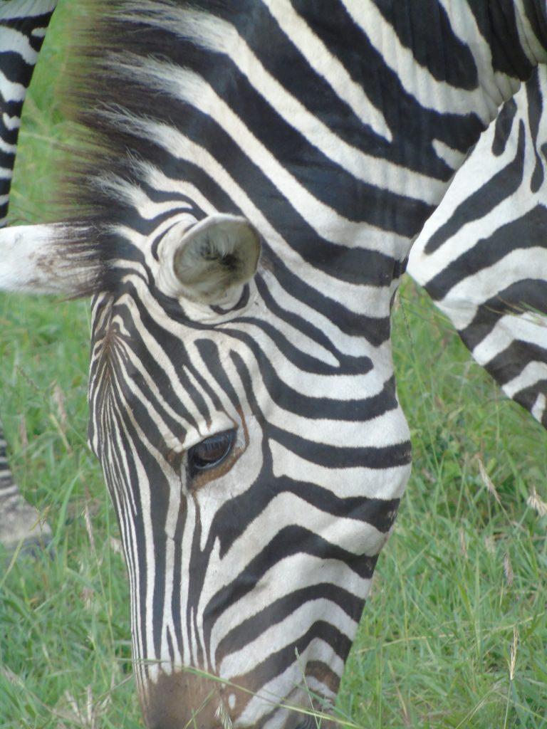 Zebra on Kenya Safari