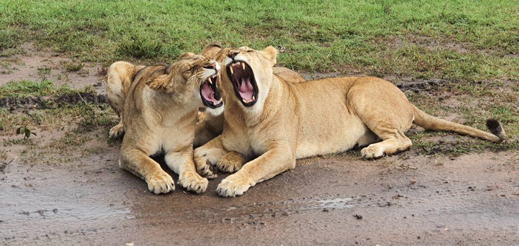 Two yawning Lions in the Masai Mara