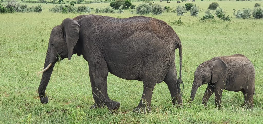 Cute baby elephant and mother in the Masai Mara