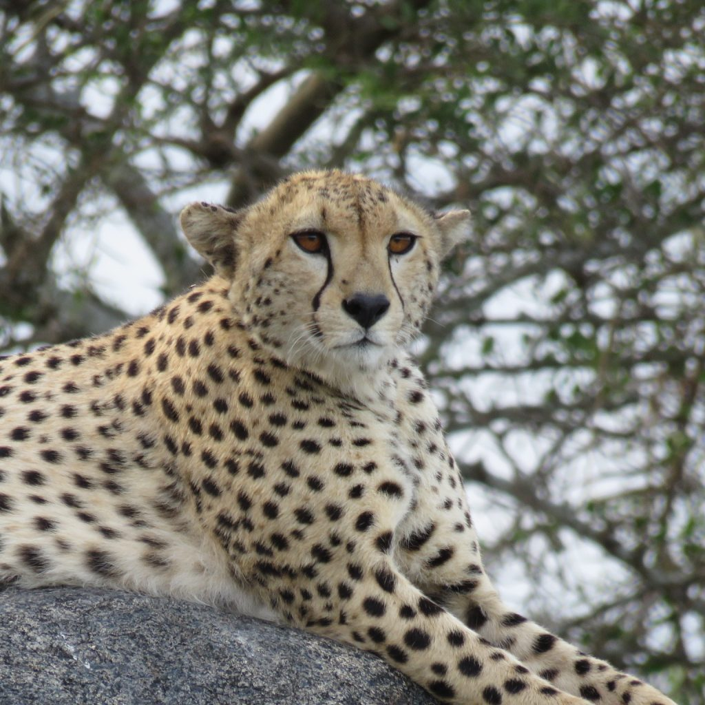 A Cheetah perched on a vantage point
