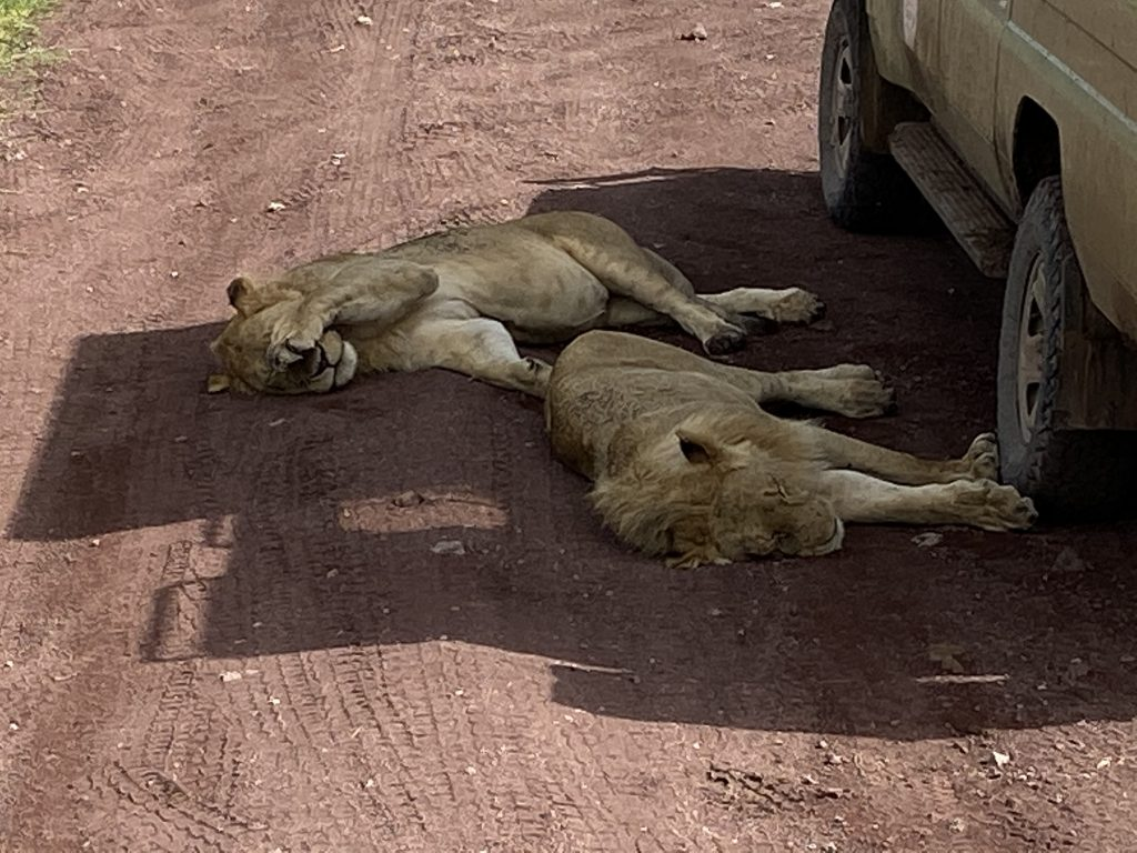 Lions having a snooze in the shade