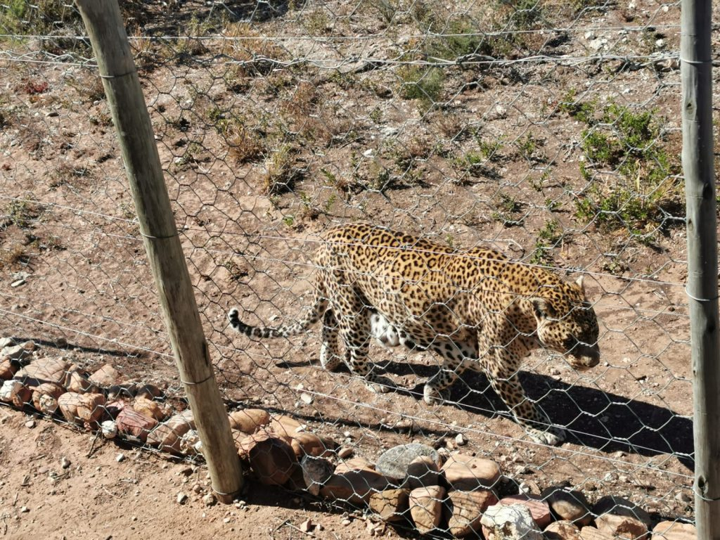 A rescued Leopard at The Shamwari Big Cat Sanctuary
