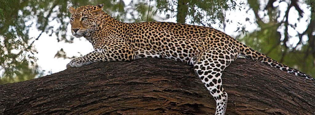 Leopard in a tree in Kenya