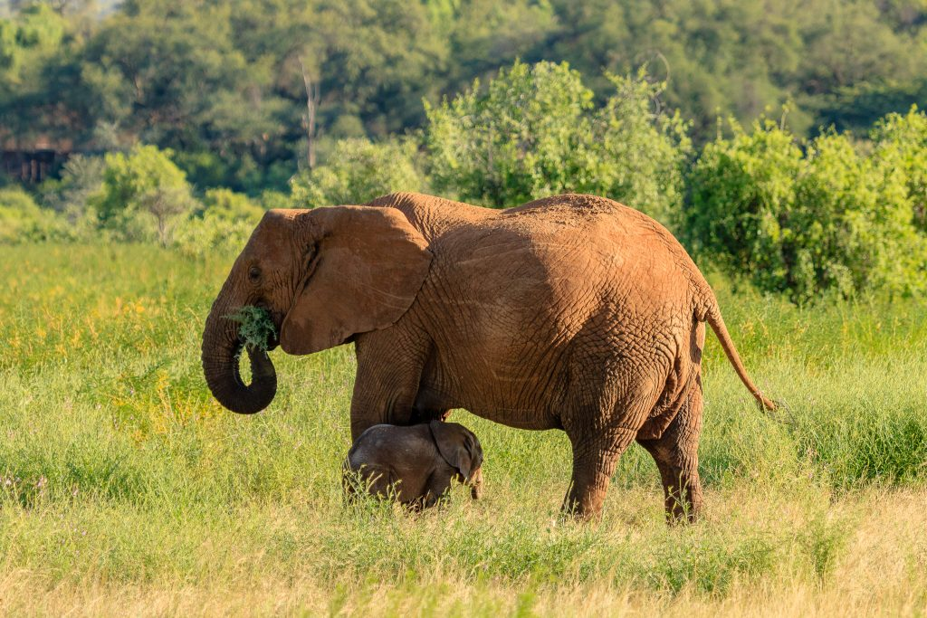 An Elephant with her calf