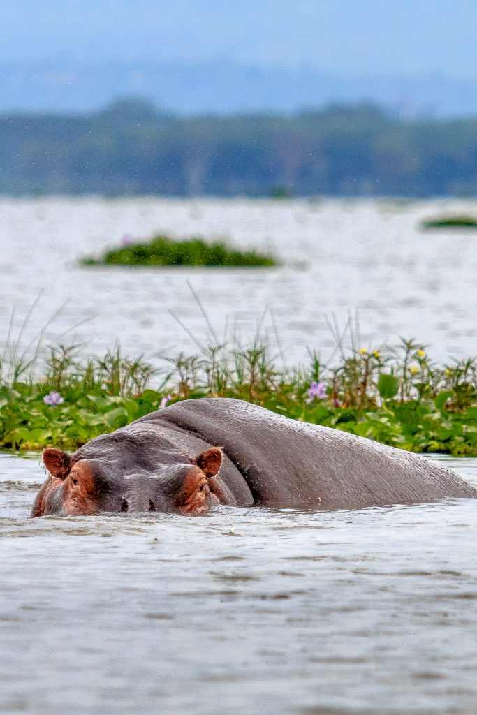 A Hippo in Crescent Lake, Naivasha