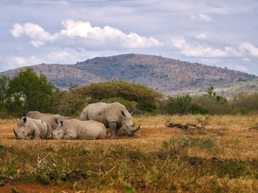 Four rhinos at Sabi Sand