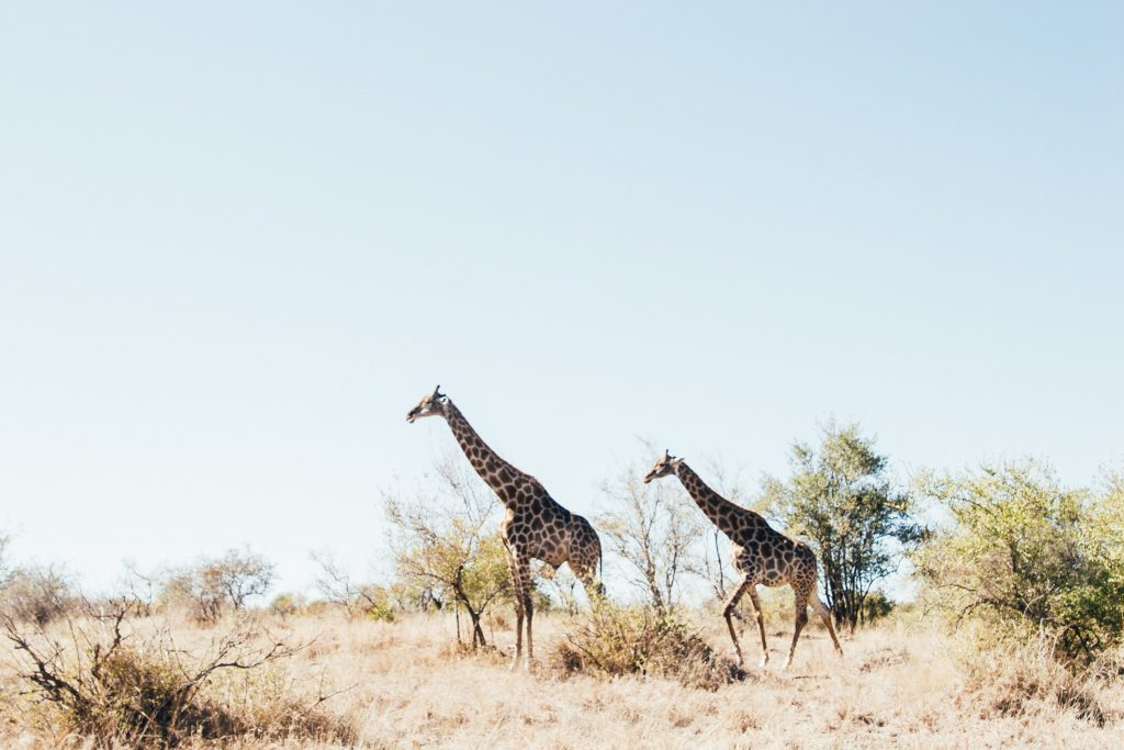 Two giraffes at Ngala Private Game Reserve