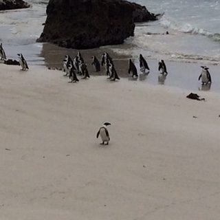 Penguins in Cape Town