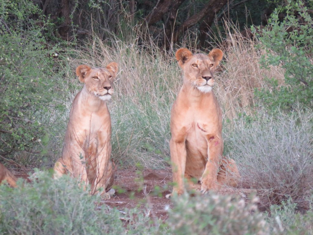 Two young lions in the Kenyan bush