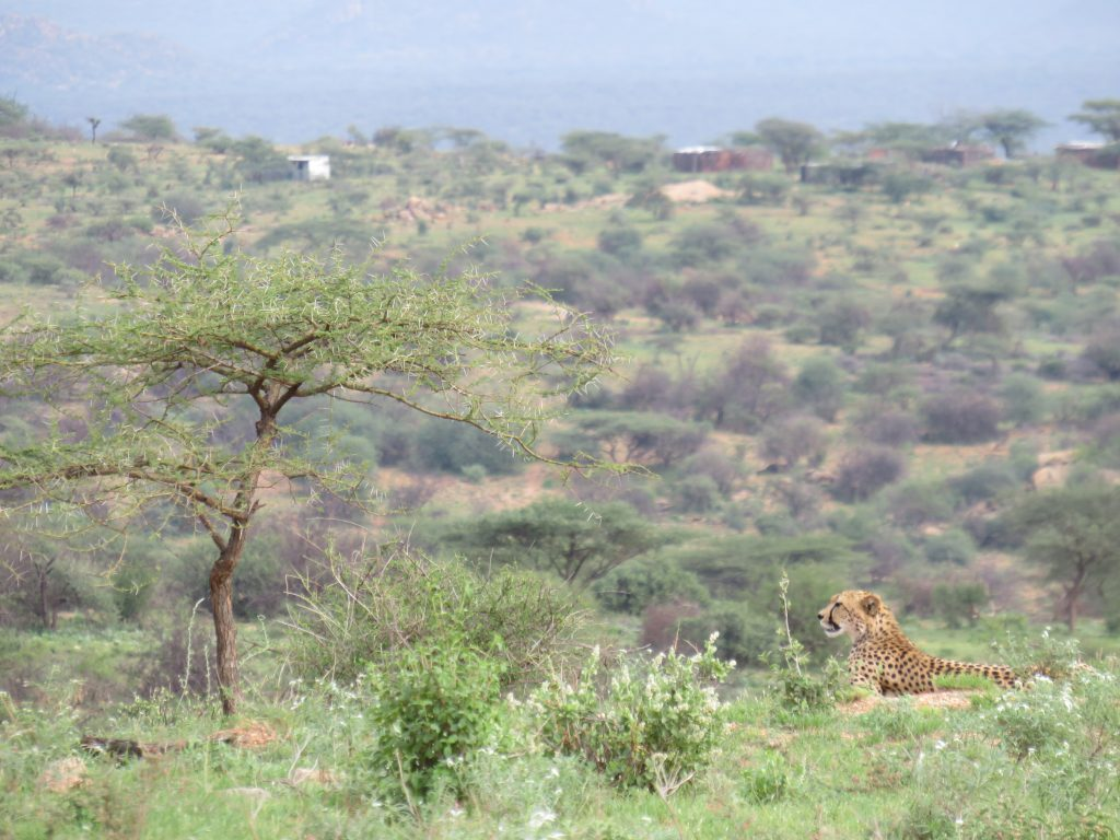 A Cheetah in the fabulous landscape