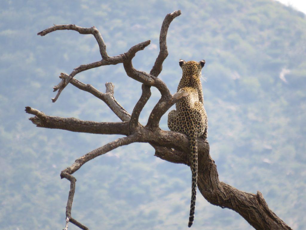 A Leopard in a tree in the Masai Mara