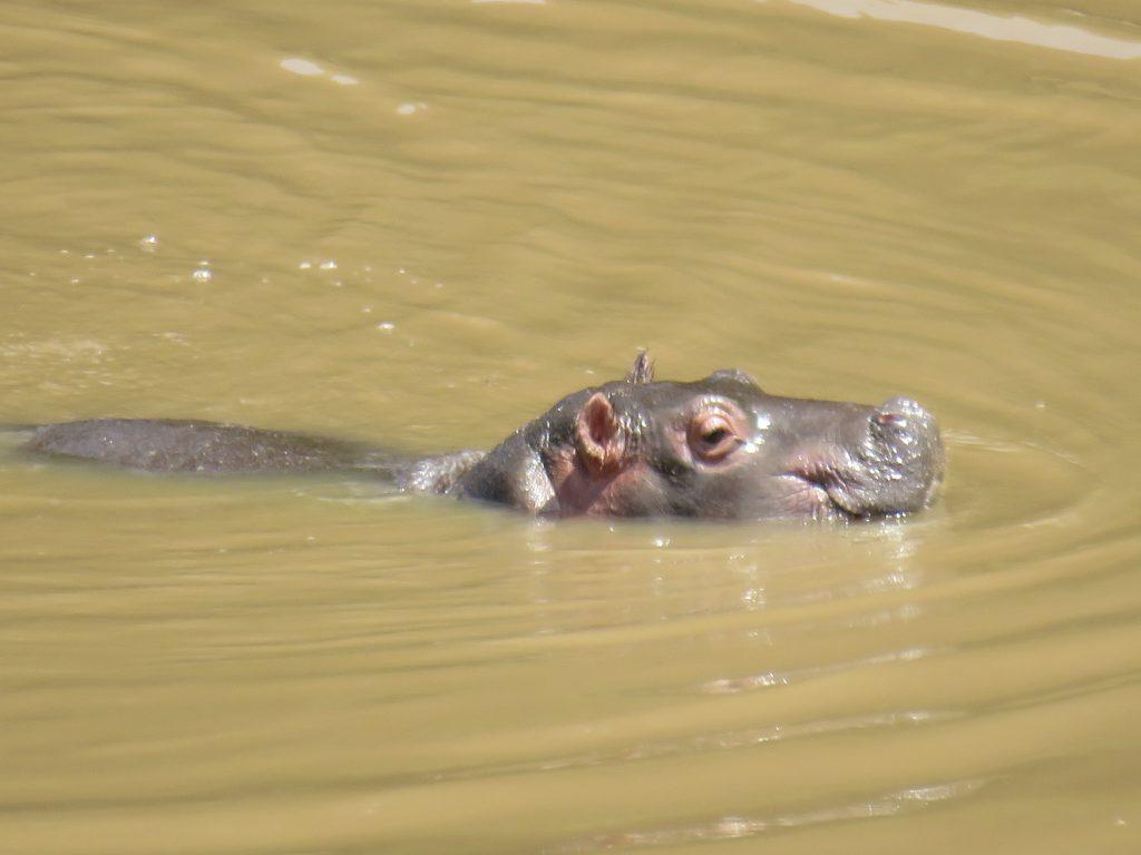 A Hippo in lake Nakuru