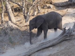 An elephant walking past