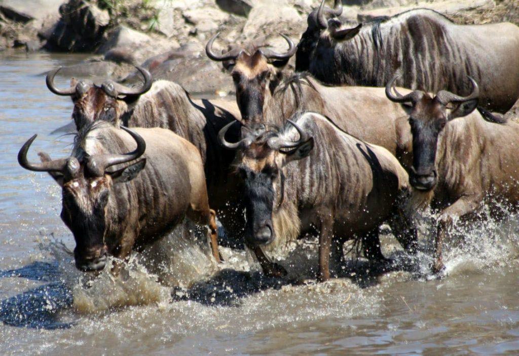 The Wildebeest Migration in Kenya